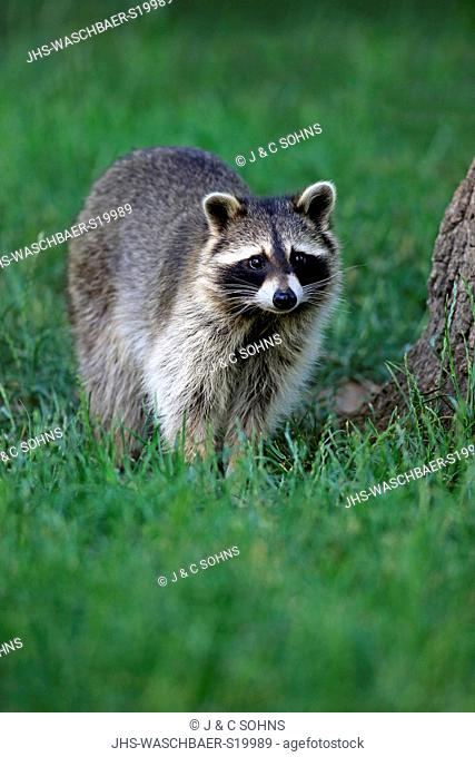 Raccoon, North American Raccoon, Common raccoon, (Procyon lotor), adult alert, Germany, Europe