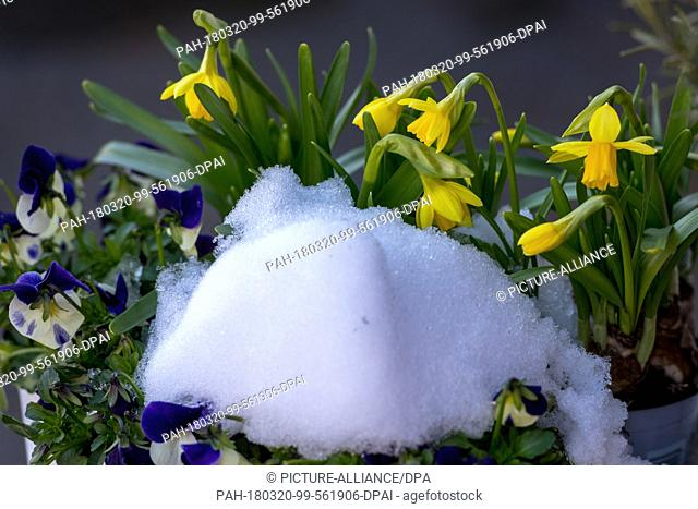 20 March 2018, Germany, Mallersdorf: Snow in front of flowering wild daffodils and pansies. Photo: Armin Weigel/dpa. - Mallersdorf/Bavaria/Germany