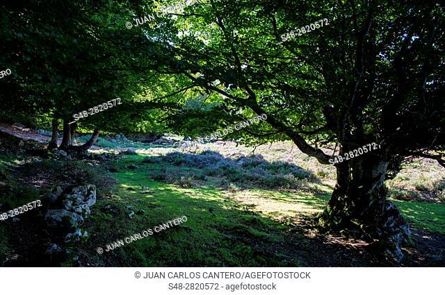 Hayedo en el parque natural de los Collados del Ason. Cantabria. España. Europa