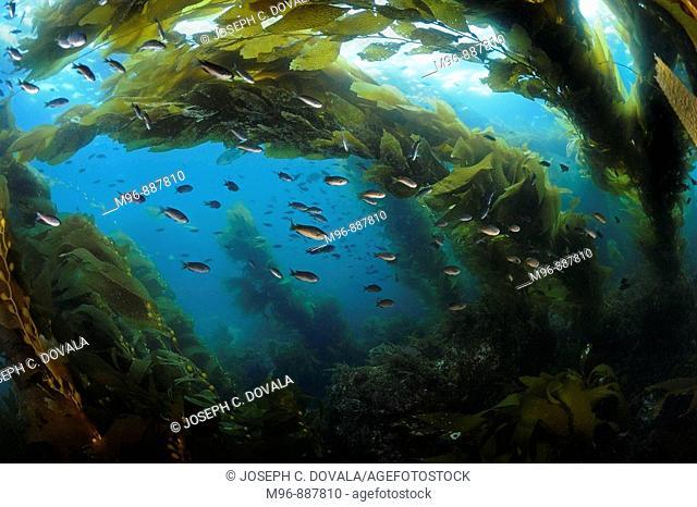 Kelp forest with blacksmith fish, Catalina Island, California, USA