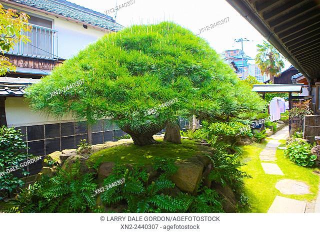 Giant Bonsai Tree - Private. Kyoto. Japan