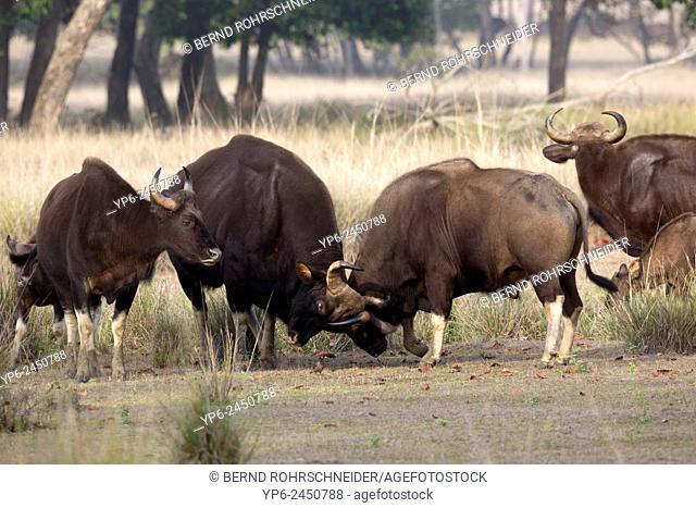 Gaur (Bos gaurus), two bulls fighting, Kanha National Park, Madhya Pradesh, India