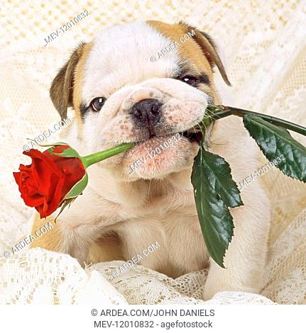 Bulldog - puppy with rose Digital manipulation