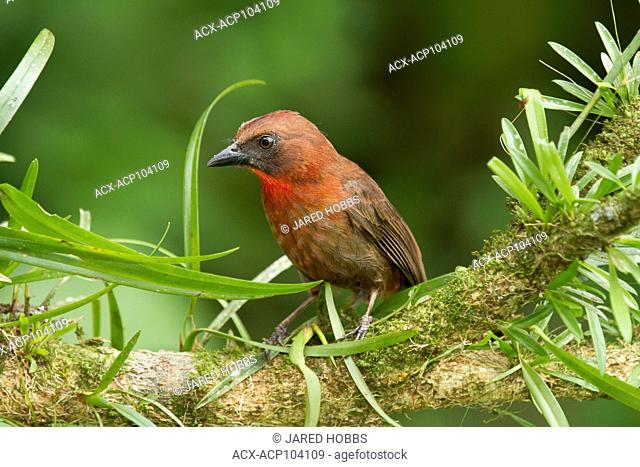 Red-throated Ant Tanager, Habia fuscicauda, Costa Rica, Central America