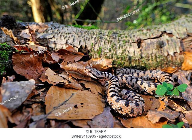 asp viper, aspic viper (Vipera aspis), male, Switzerland, Schweizer Jura