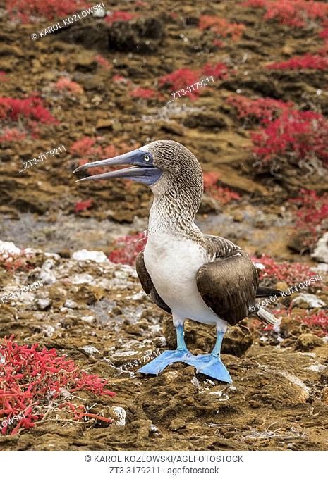 Blue-footed booby (Sula nebouxii), Punta Pitt, San Cristobal or Chatham Island, Galapagos, Ecuador