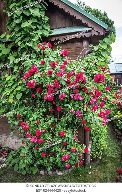 Rose garden on countryside in Mazovia region, Poland