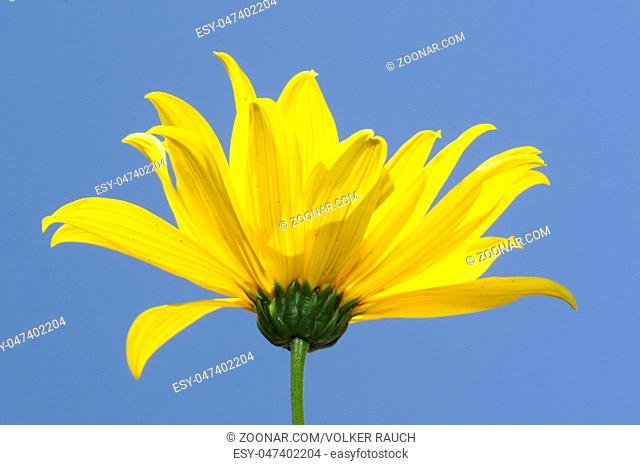 sonnenhut, blume, gelb, blüte, pflanze, zierpflanze, Rudbeckia, rudbeckien, garten, gartenblume, feldblume, botanik