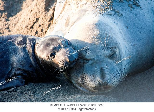 Elephant Seal pup and mom