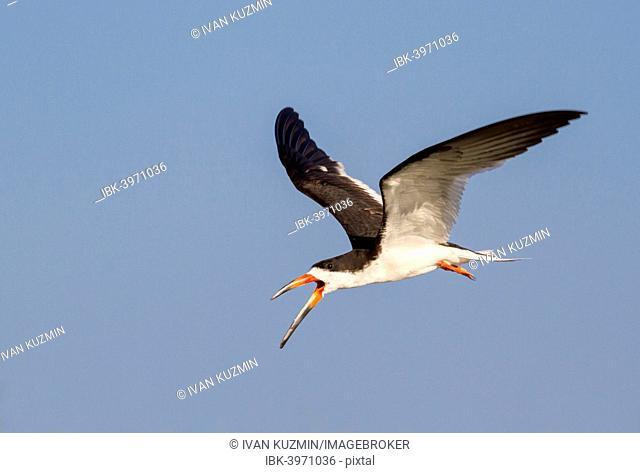 Black Skimmer (Rynchops niger) flying, Texas, USA