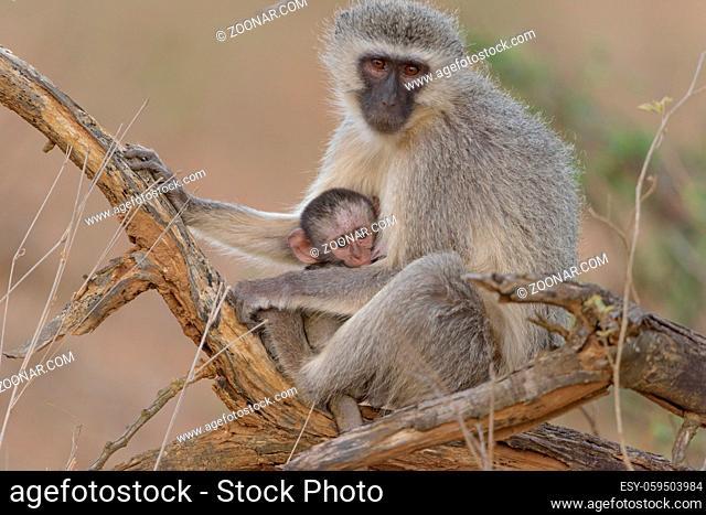 Vervet monkey mom with baby vervet monkey in the wilderness
