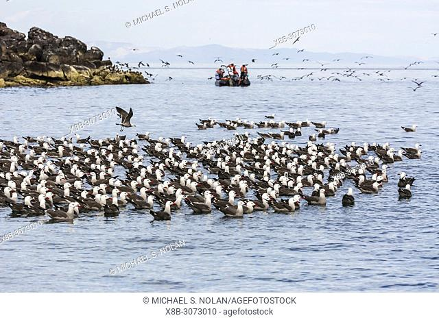 A flock of Heermann's gulls, Larus heermanni, resting on water, Isla Rasa, Baja California, Mexico
