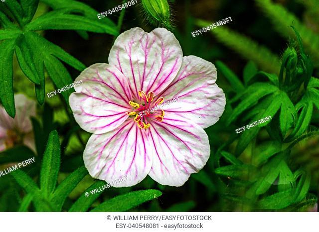 White Pink Geranium Green Leaves Macro Close Up