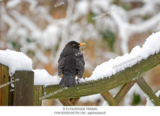 European Blackbird Turdus merula adult male, perched on snow covered wooden gate in garden, Norfolk, England, winter