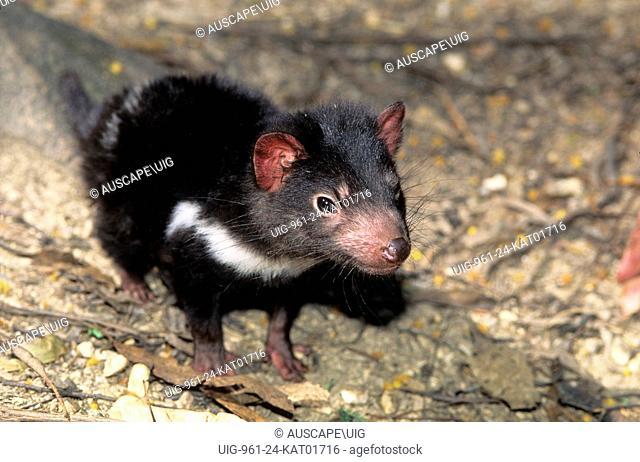 Tasmanian devil, Sarcophilus harrisii, young only a few months old, Tasmania, Australia