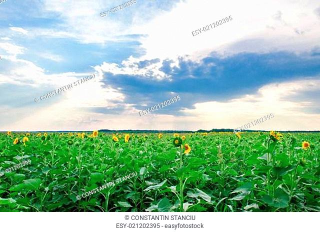 View of field with blooming sunflowers with sunset in background