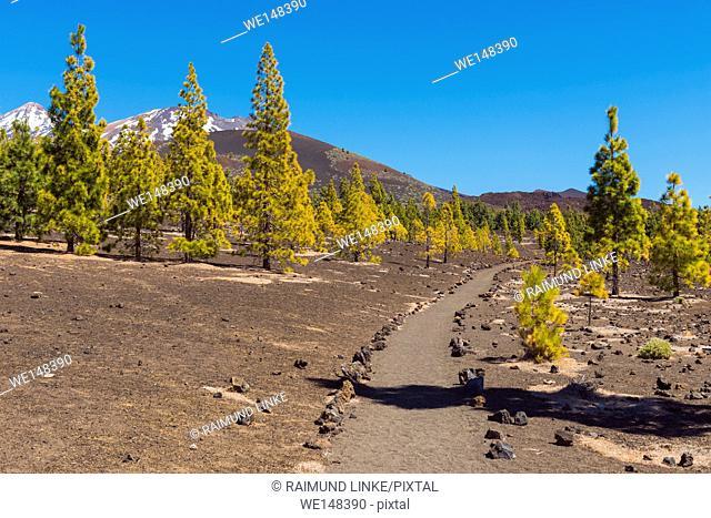 Path through volcanic landscape with pine trees, Parque Nacional del Teide, Tenerife, Canary Islands, Spain