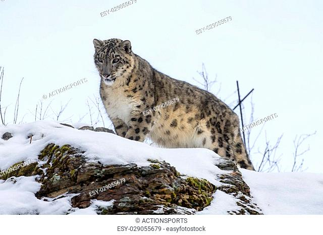Snow Leopard in a snowy forest hunting for prey