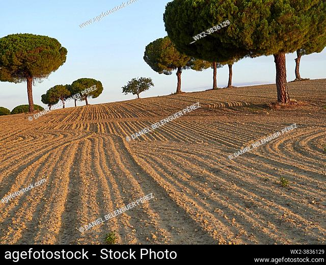 Group of pine tree (pinus pinea) between ceral lands in Villafáfila nature reserve, Zamora, Castile and Leon, Spain