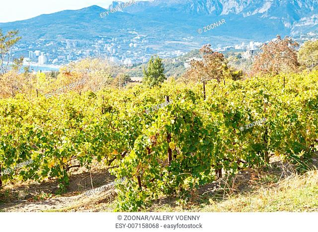 vineyard in Massandra region of south coast Crimea