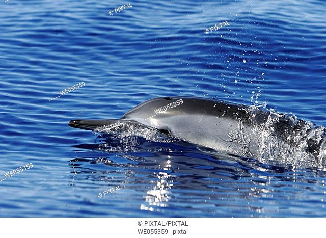 Hawaiian spinner dolphin Stenella longirostris traveling in the AuAu Channel off the coast of Maui, Hawaii, USA  Pacific Ocean