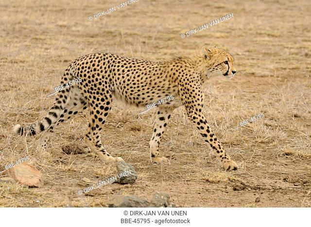 Cheetah in sideview walking in savanna grass