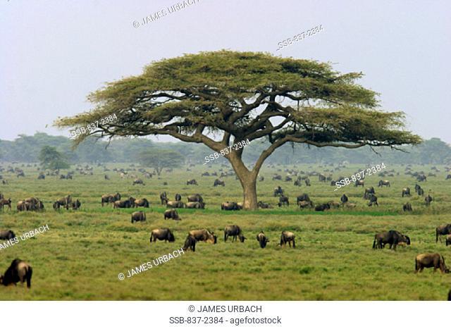 Serengeti National ParkTanzania