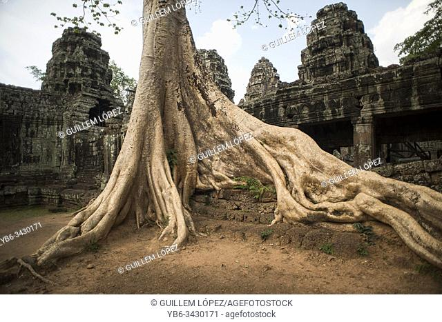 Bayan tree at the entrance of the Banteay Kdei temple in Angkor Wat, Siem Reap, Cambodia