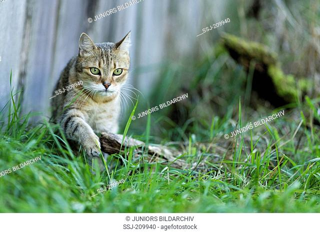 British Shorthair Cat. Tabby adult walking in grass in front of a fence. Germany