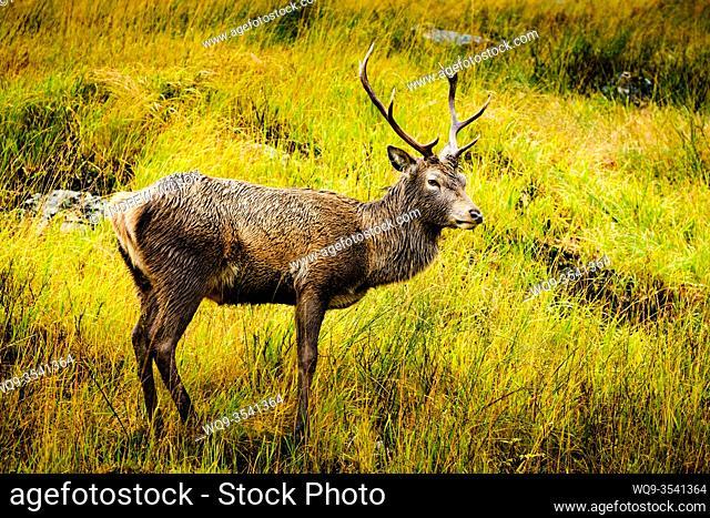 Red Deer stag (Cervus elaphus) in Glen Etive, Highlands of Scotland