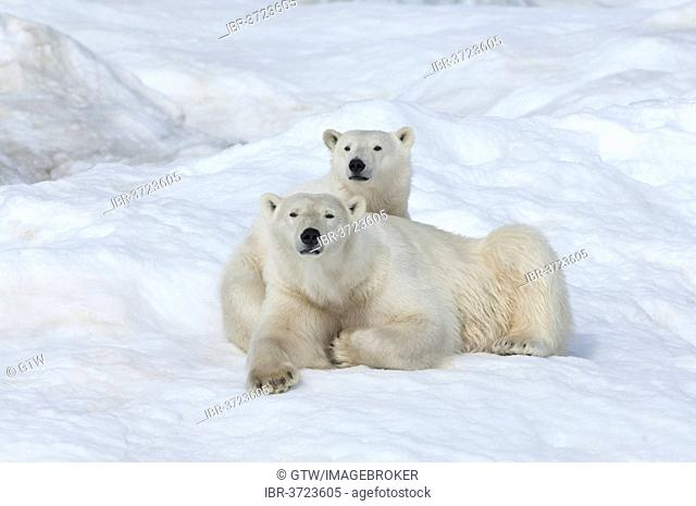 Polar Bears (Ursus maritimus), mother with a cub, 2 years, Wrangel Island, Far Eastern Federal District, Russia