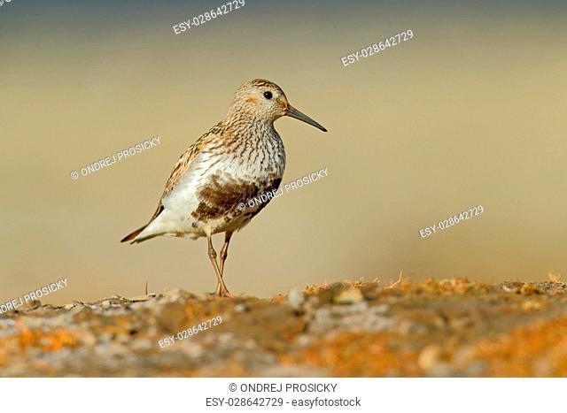 Dunlin, Calidris alpina, water bird in the nature habitat