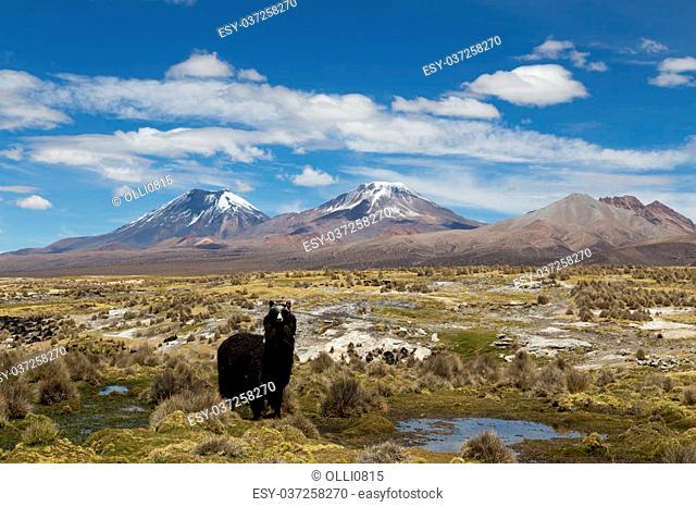 Photograph of one lama looking at the camera in Sajama National Park, Bolivia