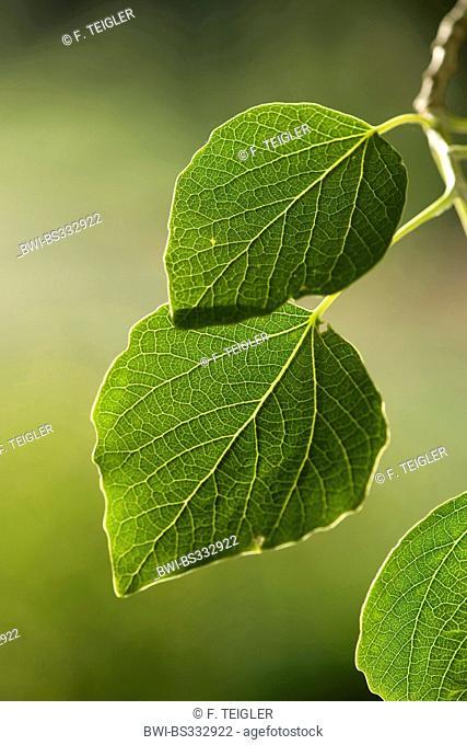 white poplar, silver-leaved poplar, abele (Populus alba), leaves on a tree, Germany