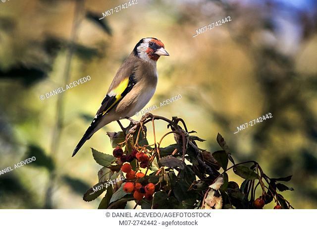 European goldfinch(Carduelis carduelis)North of Spain. Eurpe