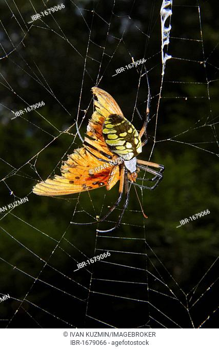 Female black-and-yellow argiope (Argiope aurantia) feeding on captured butterfly in the web, Georgia, USA, America