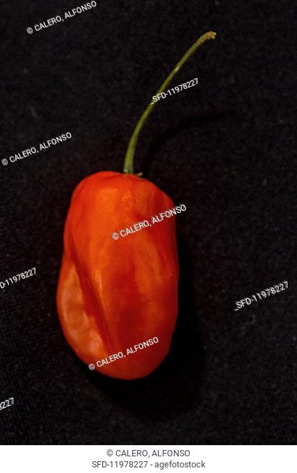 A Caribbean Red chilli pepper