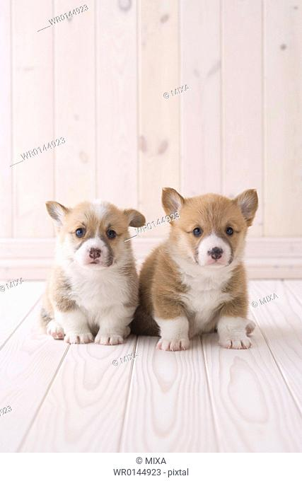 Two pembroke welsh corgi sitting