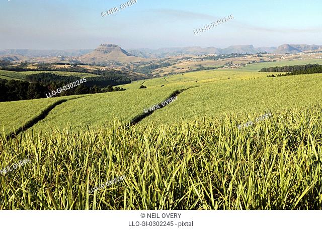 Sugarcane in Valley of a Thousand Hills, near Wartburg, Kwa-Zulu Natal Province, South Africa