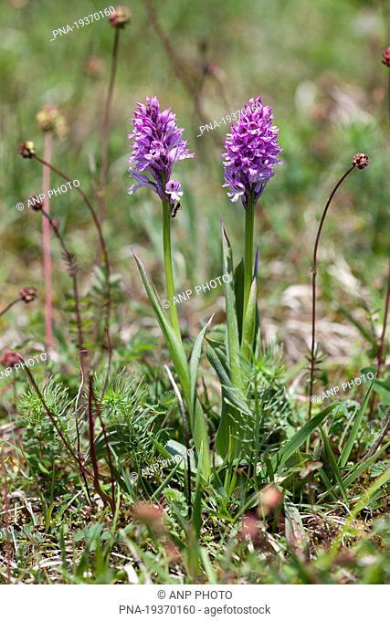 three-toothed orchid Neotinea tridentata - Roºbach Witzenhausen, Werra-Meiºner, Hesse, Hessen, Germany, Europe
