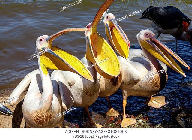 Great White Pelicans On Lake Awassa, Ethiopia