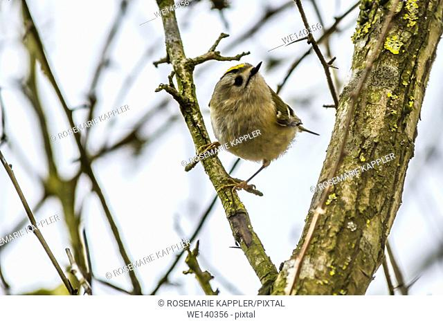 Germany, Saarland, Kirkel, A goldcrest is sitting on a branch