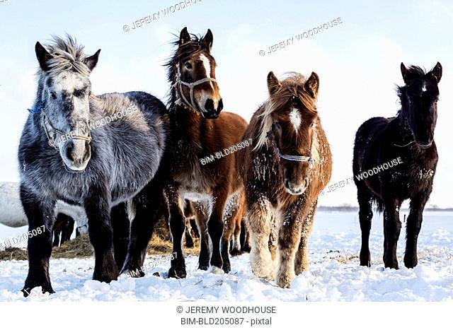 Hokkaido ponies walking in snow