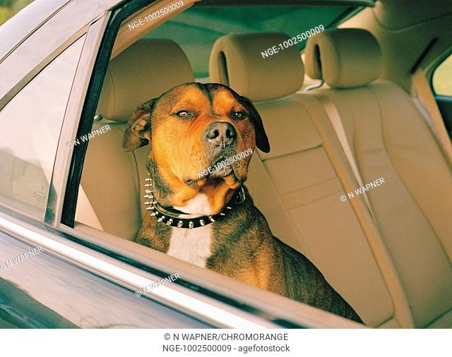 Dog sitting on the back seat of a car