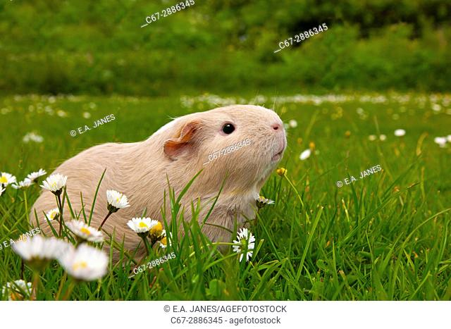Guinea Pig on grass with daises