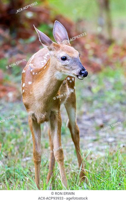 White-tailed Deer (Odocoileus virginianus) fawn, Manitoulin Island, Ontario