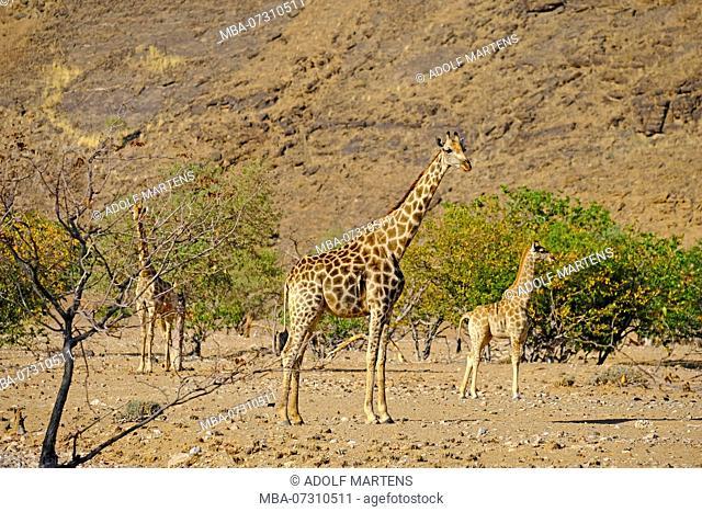 Giraffes, Giraffa camelopardalis, in the stony Mopanewald, Namibia, near SeSaontein