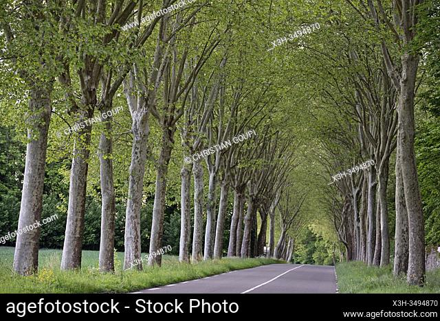 country road lined with plane trees, Yvelines department, France, Europe