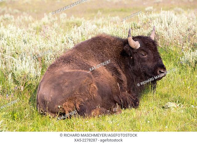 Bison (Bison bison), Hayden Valley, Yellowstone National Park, Wyoming, USA