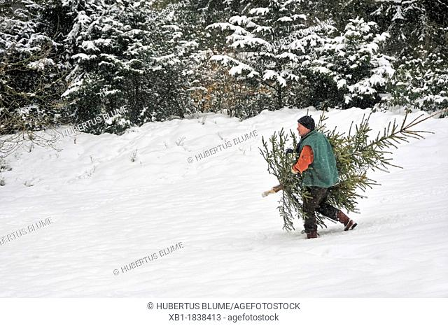man carries Christmas tree home, walking through deep snow